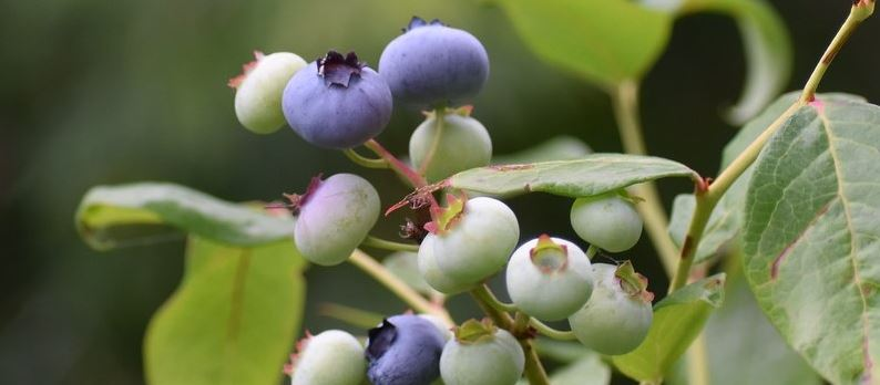 Ripe and unripe blueberries growing on a bush